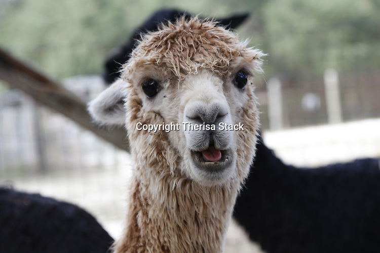 Portrait of a cute, young Alpaca