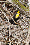 Yellow-headed Blackbird, North Dakota.