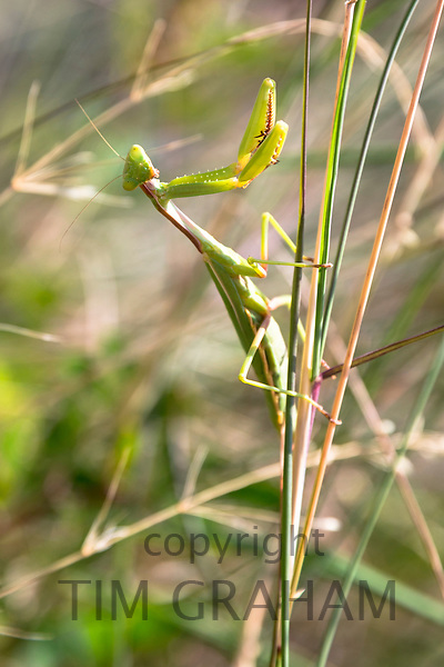 Praying Mantis or Mantid, Mantis religiosa, large stick insect clinging onto grass reed natural habitat, Corfu, Greece
