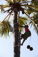 Myanmar (Burma), Mandalay-Division, Bagan: Collecting palm sap for making palm wine, also called Callu or Toddy | Myanmar (Birma), Mandalay-Division, Bagan: junger Mann sammelt Palmensaft zur Herstellung von Palmwein, auch Toddy genannt