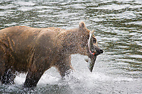 Brown bear feeds on red salmon at the Brooks falls, Katmai National park, Alaska.
