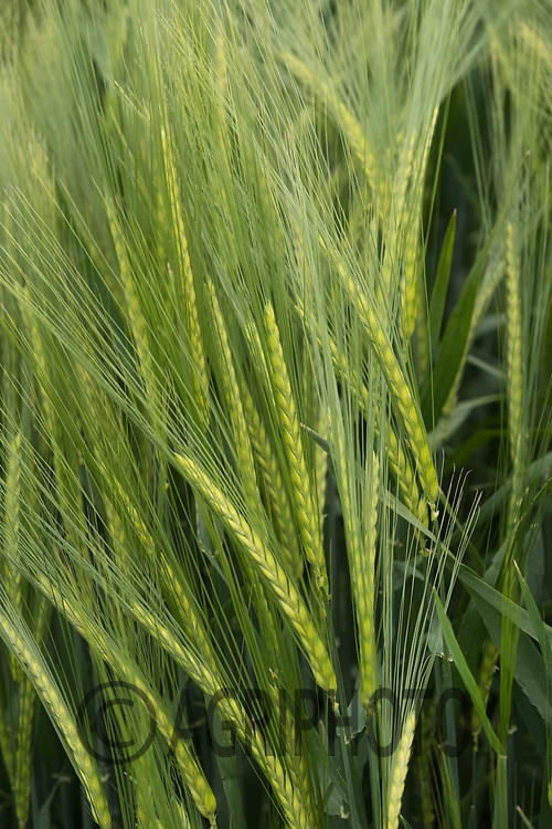 Winter barley coming into ear<br /> &copy;Tim Scrivener Photographer 07850 303986<br /> ....Covering Agriculture In The UK....