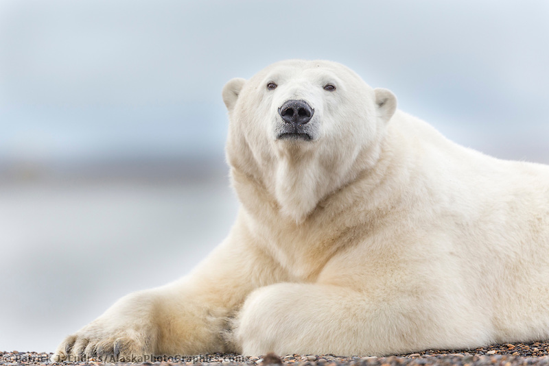 Polar bear rests along the shore of a barrier island in the Beaufort Sea, Arctic Alaska.