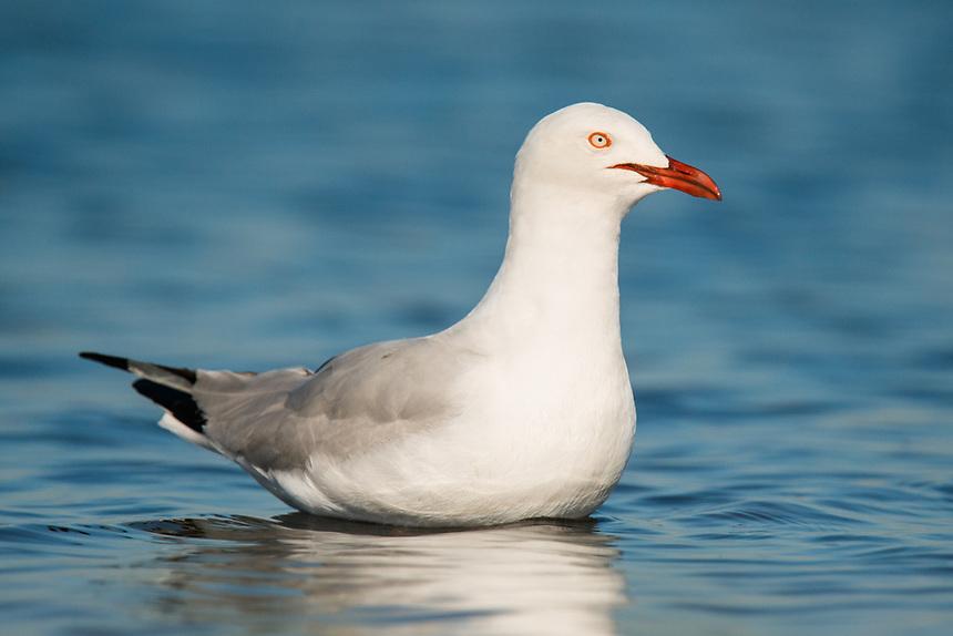Silver Gull. Western Treatment Plant, Victoria.