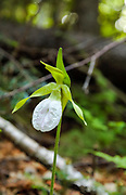 Lady's Slipper -Cypripedium acaule-in the White Mountains, New Hampshire  USA