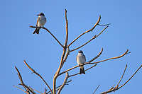 Gray Kingbird (Tyrannus dominicensis dominicensis), pair in a tree at punta Las Tunas, Arecibo, Puerto Rico.