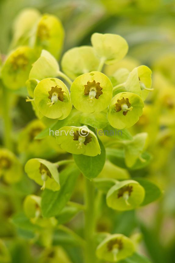 euphorbe characias 'Forescate', (Euphorbia characias 'Forescate') : inflorescence // Euphorbia characias 'Forescate'