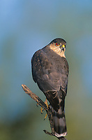 542300007 a wild adult sharp-shinned hawk accipiter striatus perches on a mesquite limb in the lower rio grande valley of south texas united states