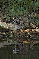 Raccoon hunting for food along edge of wetland area.  Pacific Northwest.