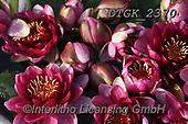 Gisela, FLOWERS, BLUMEN, FLORES, photos+++++,DTGK2370,#f#, EVERYDAY