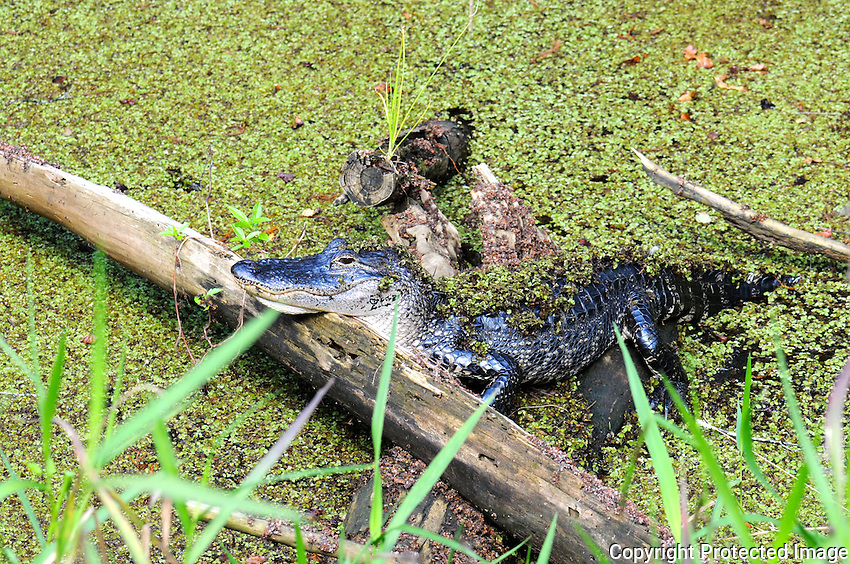 Alligator photographed in small cypress swamp pond located behind the visitor center at Arthur Marshall Loxahatchee Preserve, Boynton Beach, Florida.