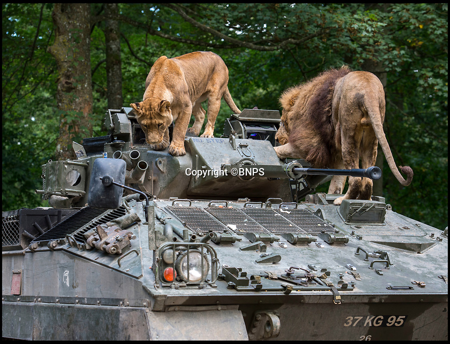 BNPS.co.uk (01202 558833)<br /> Pic: PhilYeomans/BNPS<br /> <br /> Top Cat's - Lock down - Army take cover as Longleat's big cats take control...<br /> <br /> Longleat's infamous troop of mischievous monkeys, along with the parks other wiley inhabitants, have been wreaking havoc on unsuspecting motorists for decades.<br /> <br /> But even they were a little overwhelmed when they came face to face with the might of the British Army this week.<br /> <br /> Soldiers from the 1st Battalion The Yorkshire Regiment, based in nearby Warminster, took one of their Warrior armoured vehicles through some of the Wiltshire safari park's most notorious enclosures.<br /> <br /> And despite the animals obvious interest the 27.5 tonne, six-metre-long caterpillar tracked vehicle eventually emerged without a scratch.<br /> <br /> The Army were visiting the park ahead of a new military spectacular event which is taking place on the estate later this month.