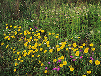 Wildflowers, Raymondville, Rio Grande Valley,Texas, USA