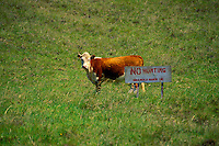 "A cow stands next to ""No Hunting"" sign, offering some humor at the Haleakala Ranch at a 4,500-ft. elevation in upcountry Maui."