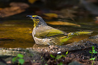 Stripe-throated Bulbul (Pycnonotus finlaysoni) at a watering hole. (Kaeng Krachan, Thailand)