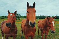 "Horses hang out by the fence at Mississippi State University's H.H. Leveck Animal Research Center, commonly referred to as ""South Farm."" (photo by Chase Neal / © Mississippi State University)"