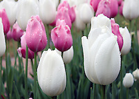 Stock photo: Refreshing close up of white and blushing pink tulips flowers just after rain in the Atlanta botanical garden, Georgia, US.