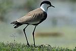 Blacksmith Lapwing Plover, Vanellus armatus, Lake Langano, Ethiopia.Africa....