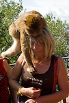 Barbary Macaque climbing onto tourist and retrieving food from her chest. Rock of Gibraltar.