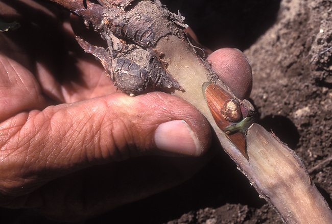 Bud placed onto rootstock to create clone of grapevine