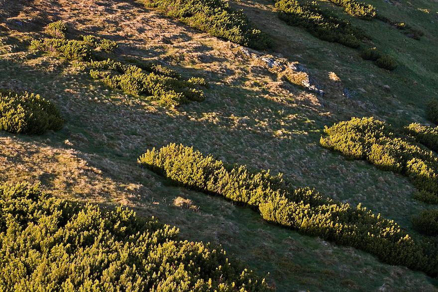 Dwarf pines (Pinus mugo) in afternoon light. Western Tatras, Slovakia. June 2009. Mission: Ticha