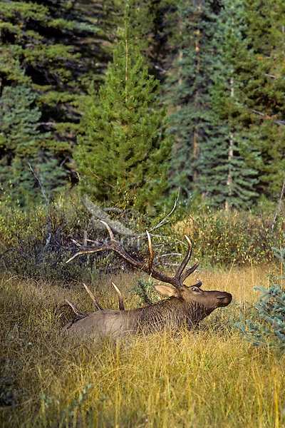 Rocky Mountain Bull Elk wallowing in wet mountain meadow during fall rut.
