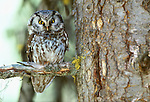 Boreal owl, Chamberlain Basin, Idaho