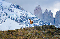 "In the shadow of the Torres del Paine (""towers of blue"" - the three towers at right in this image), a Guanaco (Lama guanicoe) pauses to take in the view. Laguna Amarga area, near Torres del Paine National Park, Patagonia, Chile."