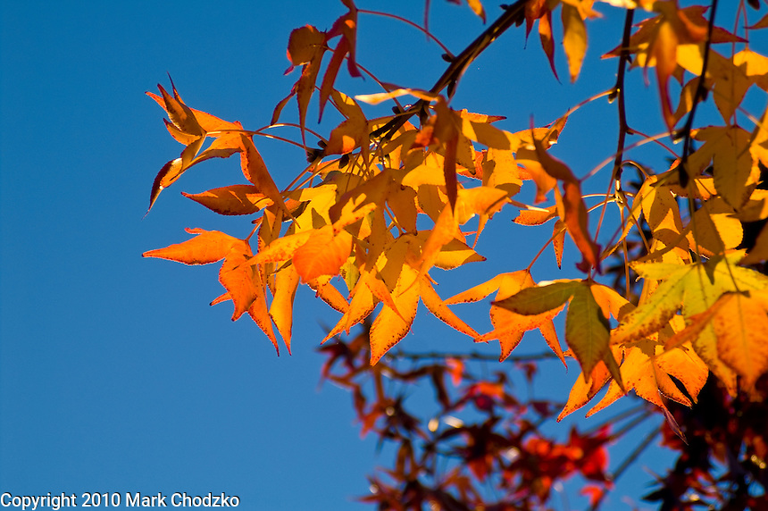 Autumn leaves against a blue sky.