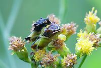 Ambush Bug; Phymata; PA, Berks County, Hopewell Furnace National Historic Site