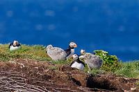 bird, Atlantic Puffin Fratercula arctica and herring gull chick Larus argentatus Puffin rock, Bonavista Newfoundland, Canada