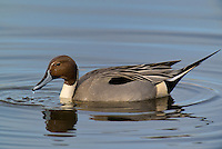 571350010 a wild drake northern pintail anas acuta swims in a shallow pond at colusa national wildlife refuge califonia