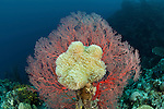 Gorgonian coral with soft corals