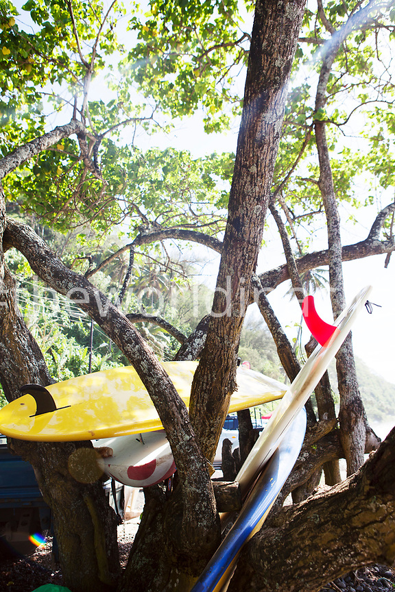 FRENCH POLYNESIA, Tahiti. Surfboards in tree at Papenoo Beach.