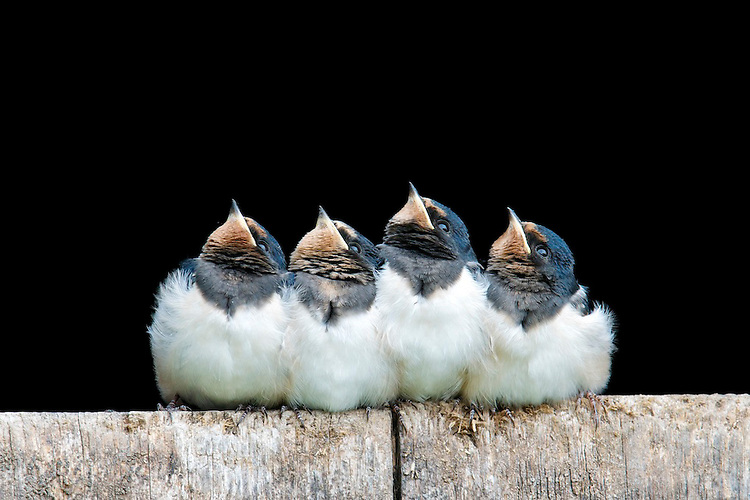 Fledgling Barn swallows resting on a stable door.