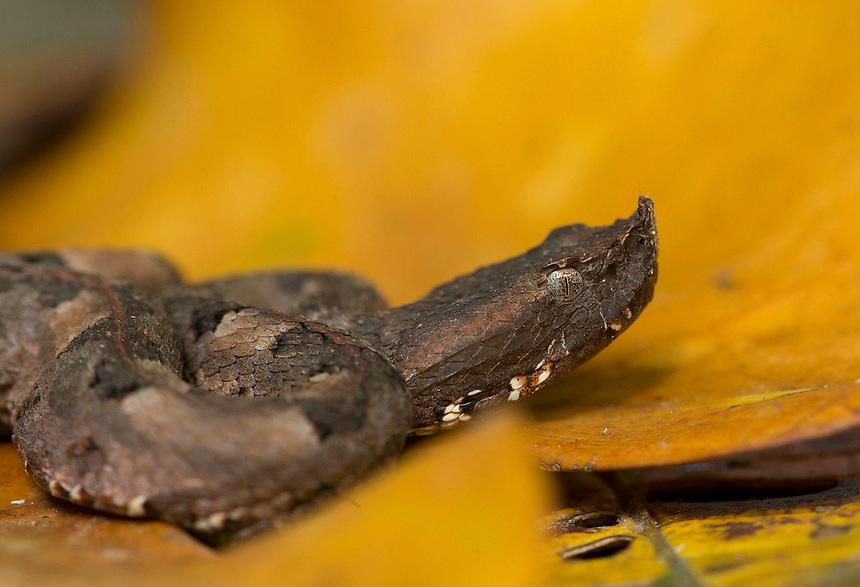 rainforest hognosed pitviper, horned hog-nosed viper. Porthidium nasutum, on yellow rainforest leaves, Costa Rica