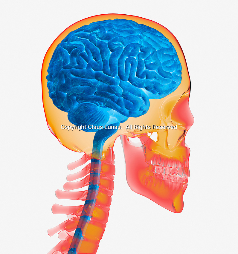 Computer generated biomedical illustration of the human brain and skull