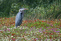 Great Blue Heron in Wild Flowers