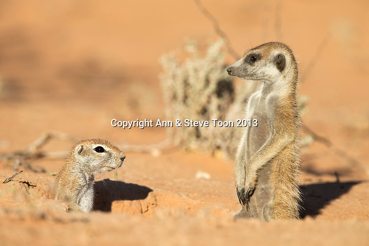 Meerkat (Suricata suricatta), with ground squirrel (Xerus inauris), Kgalagadi Transfrontier Park, Northern Cape, South Africa, January 2013