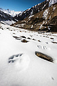 Tracks / pug-marks of a snow leopard (Panthera uncia)(formerly Uncia uncia) on a snow-covered slope. Ulley Valley, Himalayas, Ladakh, India.