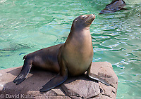 0406-1024  California Sea Lion Sun Bathing on Rock, Zalophus californianus  © David Kuhn/Dwight Kuhn Photography.