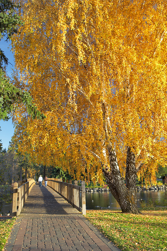 Bridge path crossing Deschutes River at Drake Park with fall aspen and people walking. Bend. Central Oregon