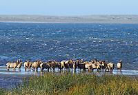 Elk - Roosevelt - In Water