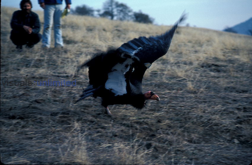 California Condor (Gymnoglyps californianus) running, take off, California Fish & Game Department, re-establishing wild population, California, USA
