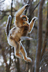 Golden snub-nosed Monkey (Rhinopitecus roxellana ssp. qinligensis), female carrying infant jumping from tree to tree, in full flight. Zhouzhi Nature Reserve, Qinling Mountains, Shaanxi, China.