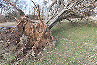 NWA Democrat-Gazette/FLIP PUTTHOFF <br />The base of a fallen tree in Rogers     Nov. 27 2019     shows that the roots of most Northwest Arkansas' trees don't run very deep.