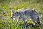 Yellowstone National Park, WY: Coyote (Canis latrans) in open meadow