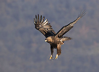 Golden Eagle, Aquila chrysaetos, adult on branch taking off, flight, Bulgaria