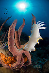 Nudibranch on a sponge, Ardeadoris egretta