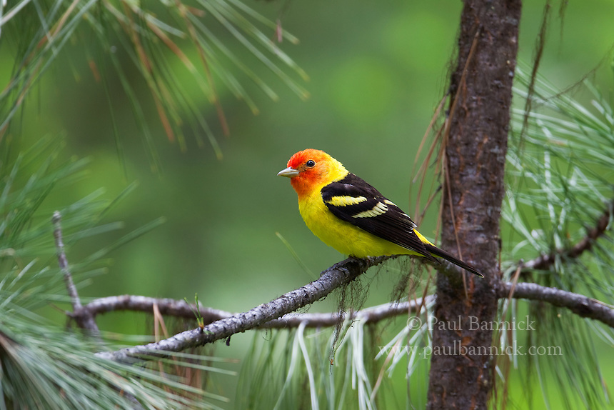A male Western Tanager, Piranga ludoviciana, searches for food among Ponderosa Pines.